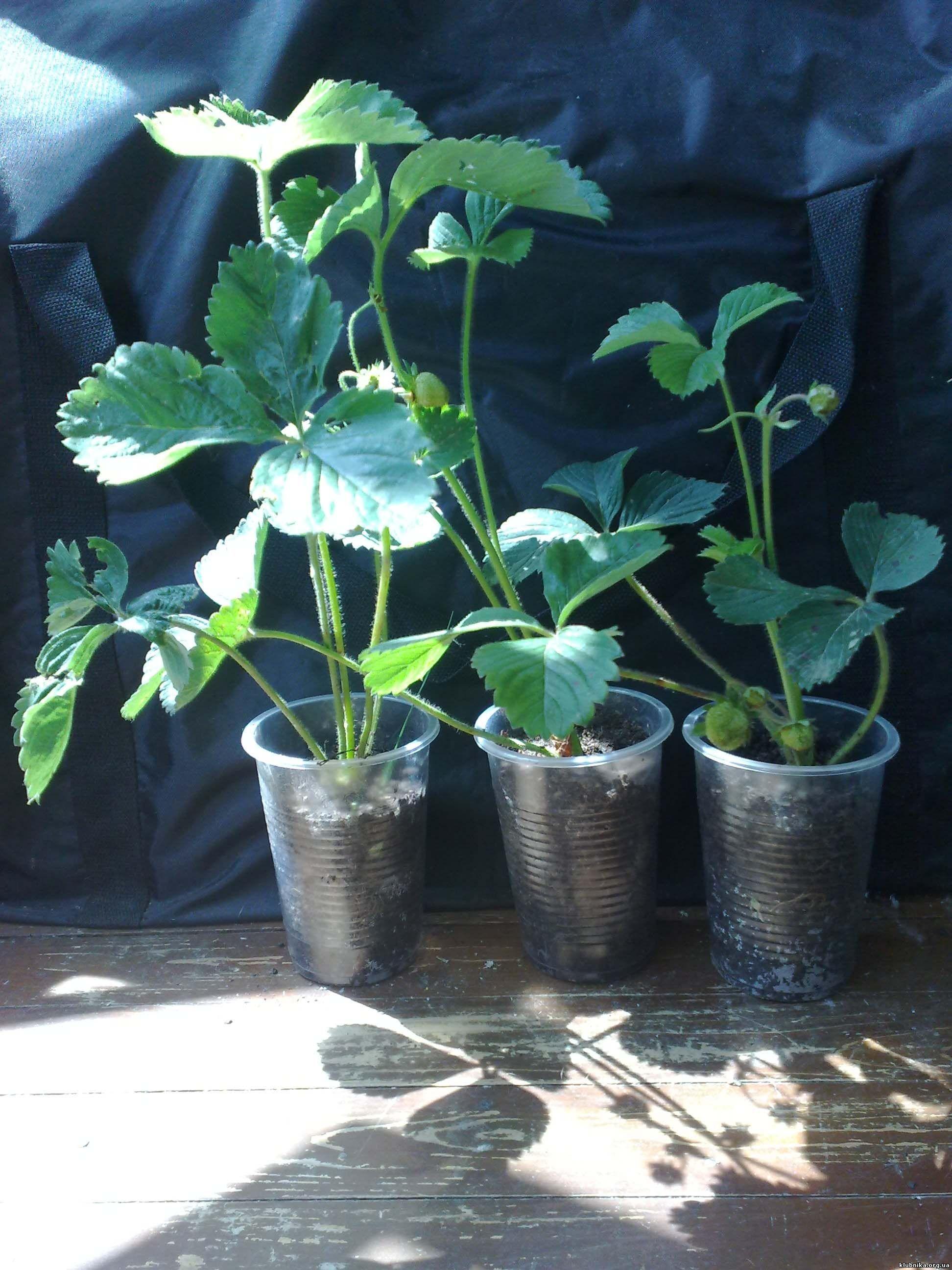 Выращивание рассады клубники из усов в стаканчиках 67